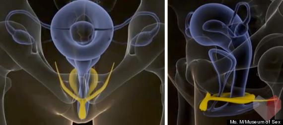 csikló, klitorisz